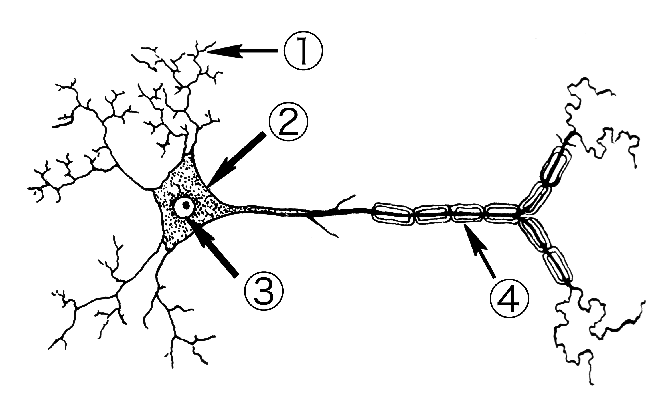 file neuron 001 png
