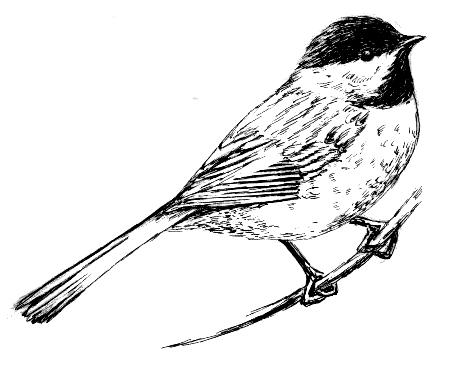 FileBlack Capped Chickadee 001