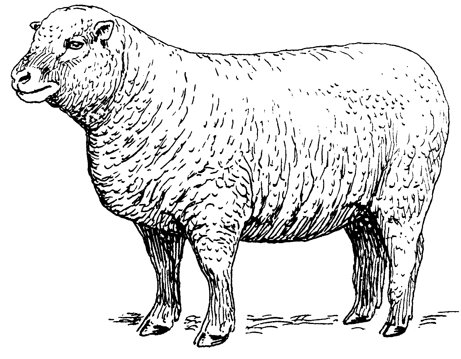 Line Drawing Images Of Sheep : File sheep psf the work of god s children