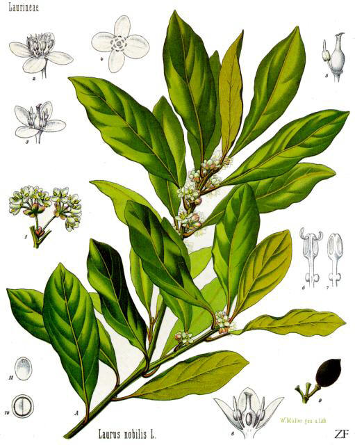 file laurus nobilis bay laurel laurel bay tree. Black Bedroom Furniture Sets. Home Design Ideas