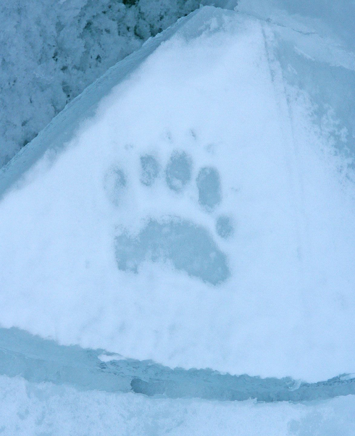 file a polar bear paw print on the ice in the arctic ocean north