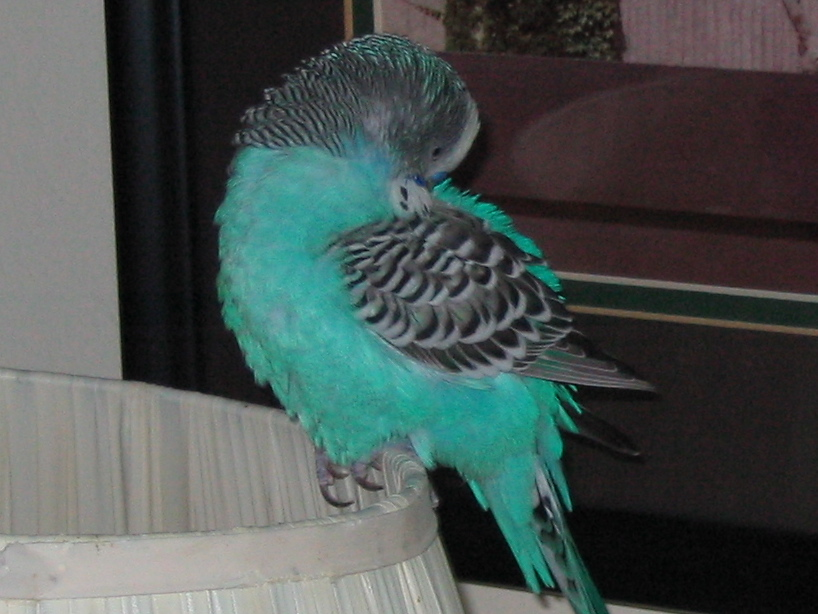 filebudgie preening its feathers 001jpg the work of