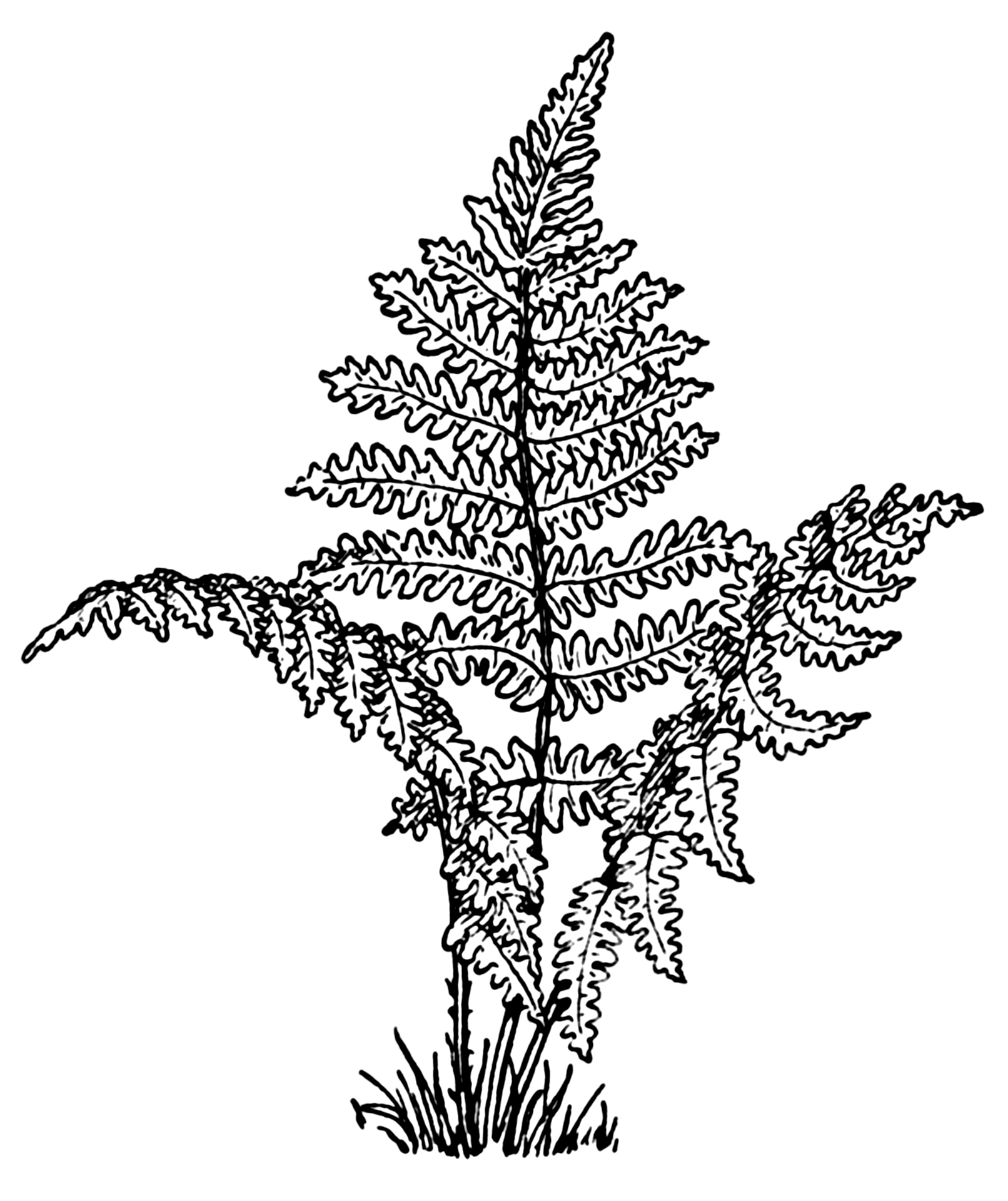 fern coloring pages - photo#1