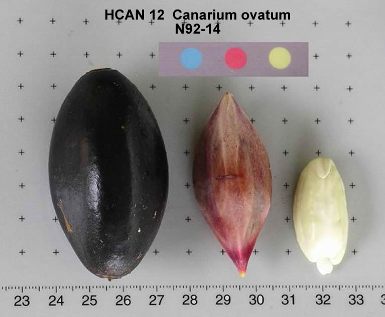 the feasibility of pili canarium ovatum Uses and ecology several species have edible nuts, known as galip nut or nangae (), pili nut (), or simply canarium nut (c harveyi and c indicum) c indicum are among the most important.