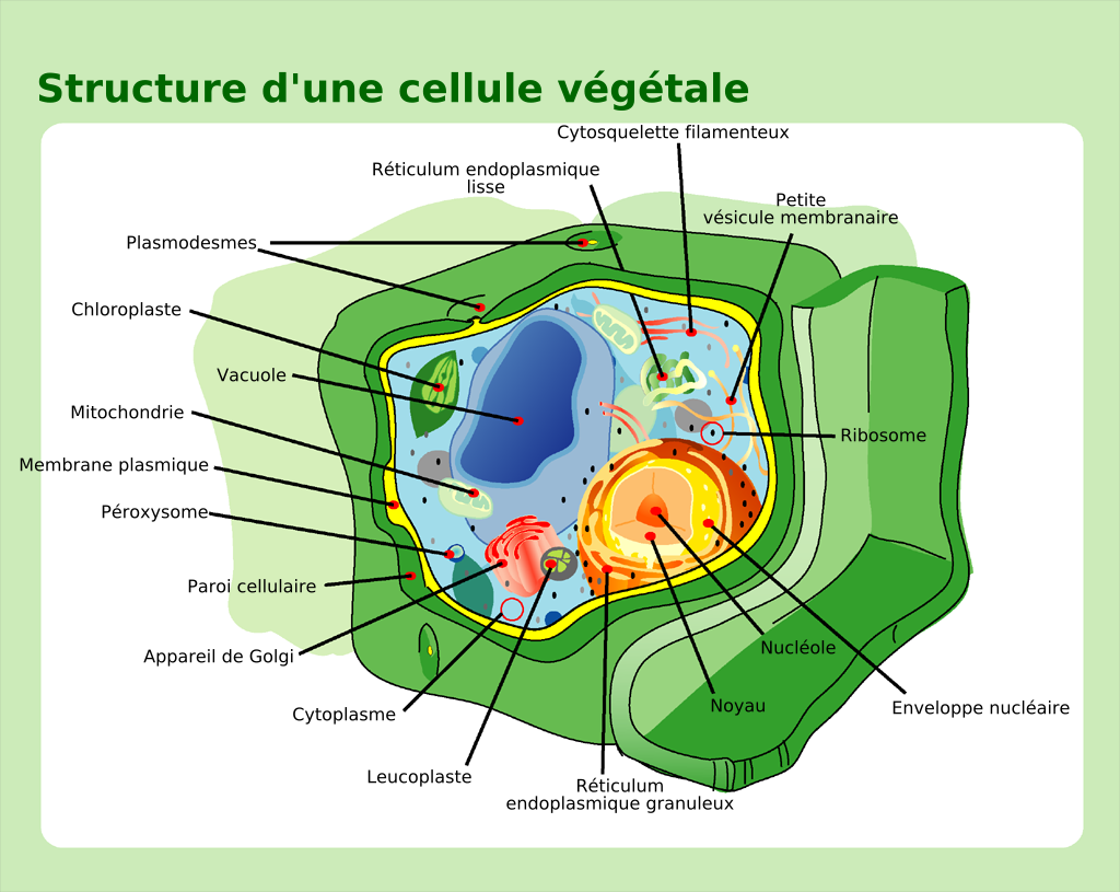 Fileplant cell structure francais frenchg the work of gods fileplant cell structure francais frenchg publicscrutiny Image collections