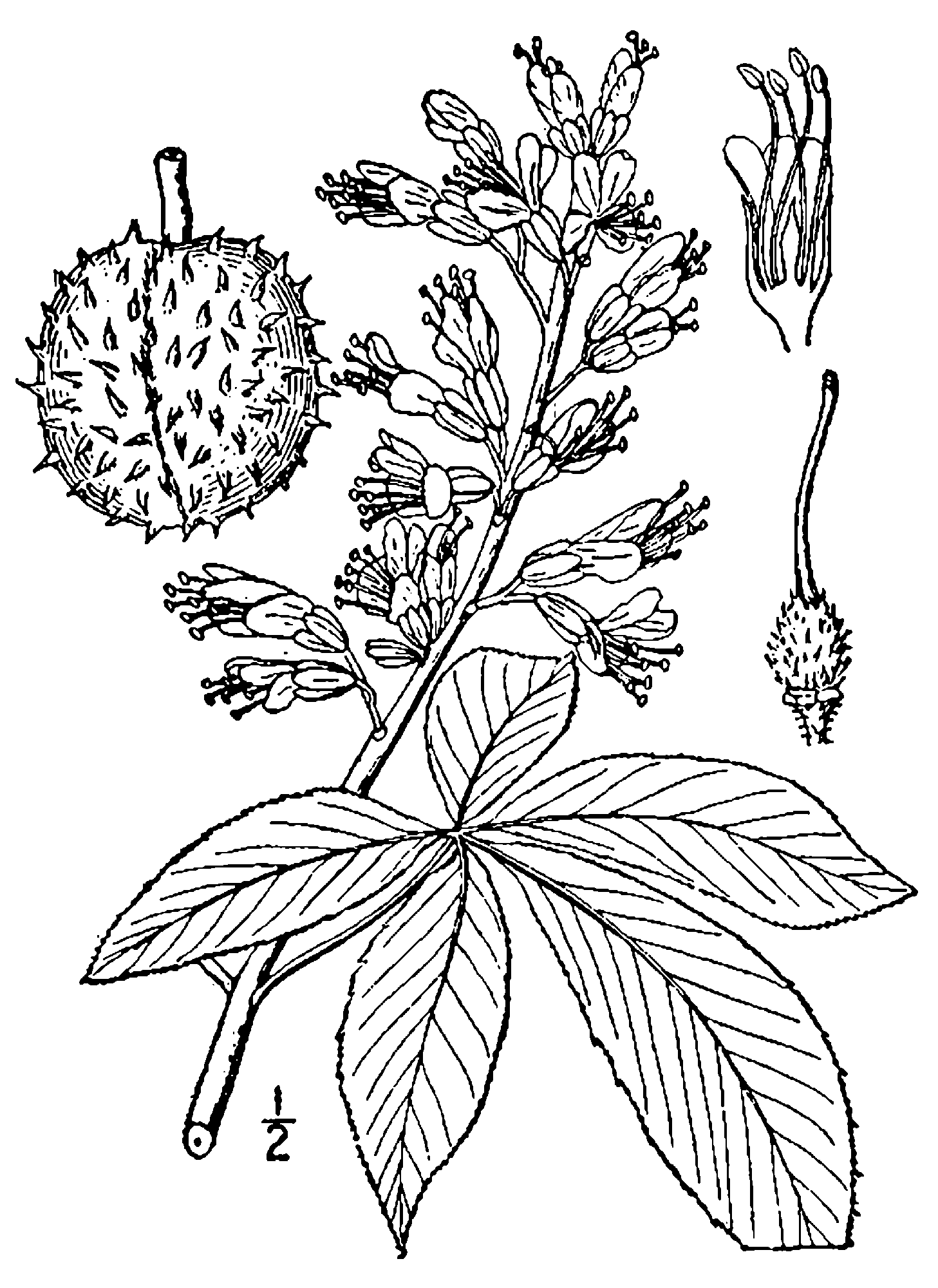 file aesculus glabra drawing png