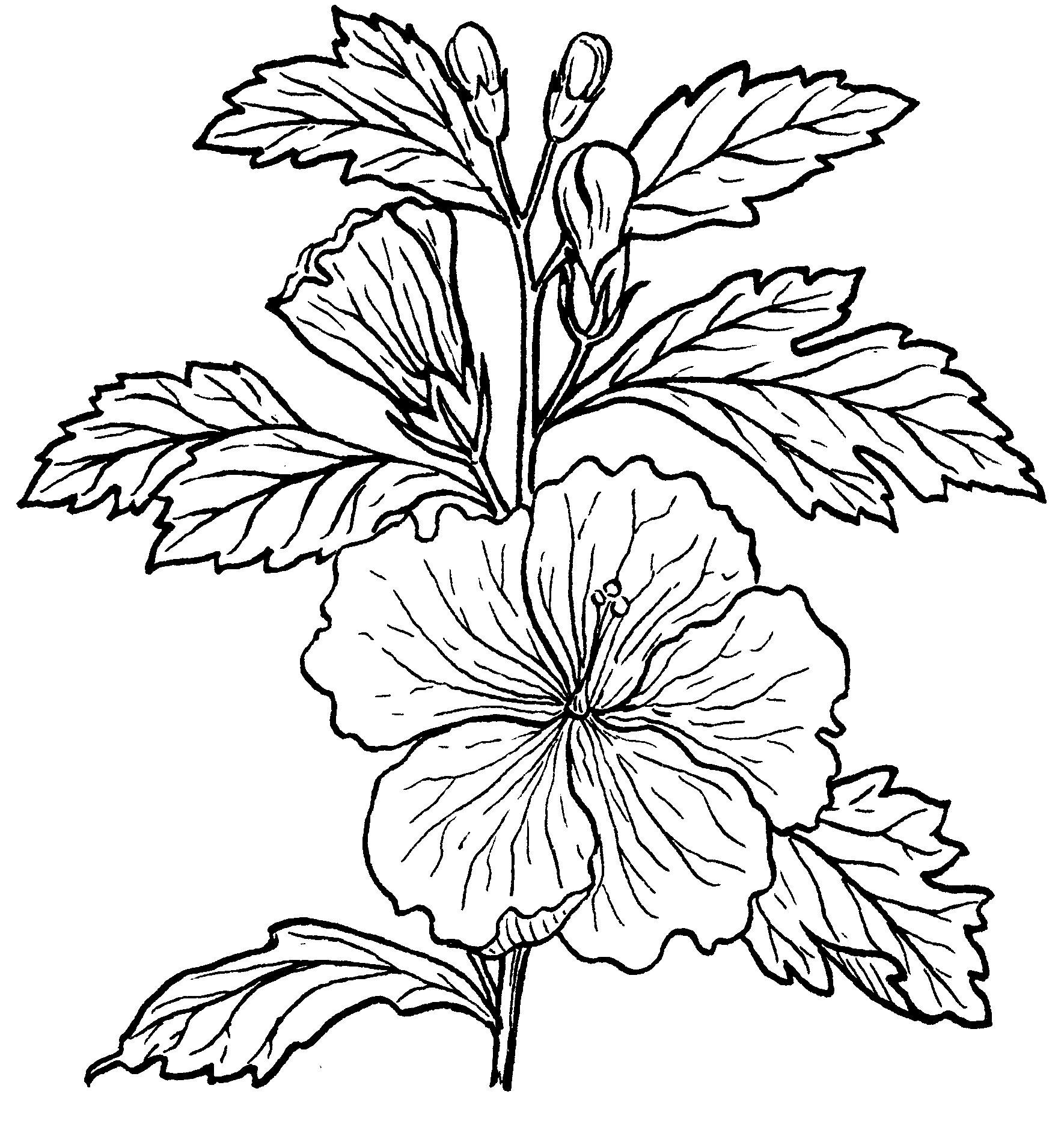 Flower Plant Line Drawing : File hibiscus psf the work of god s children