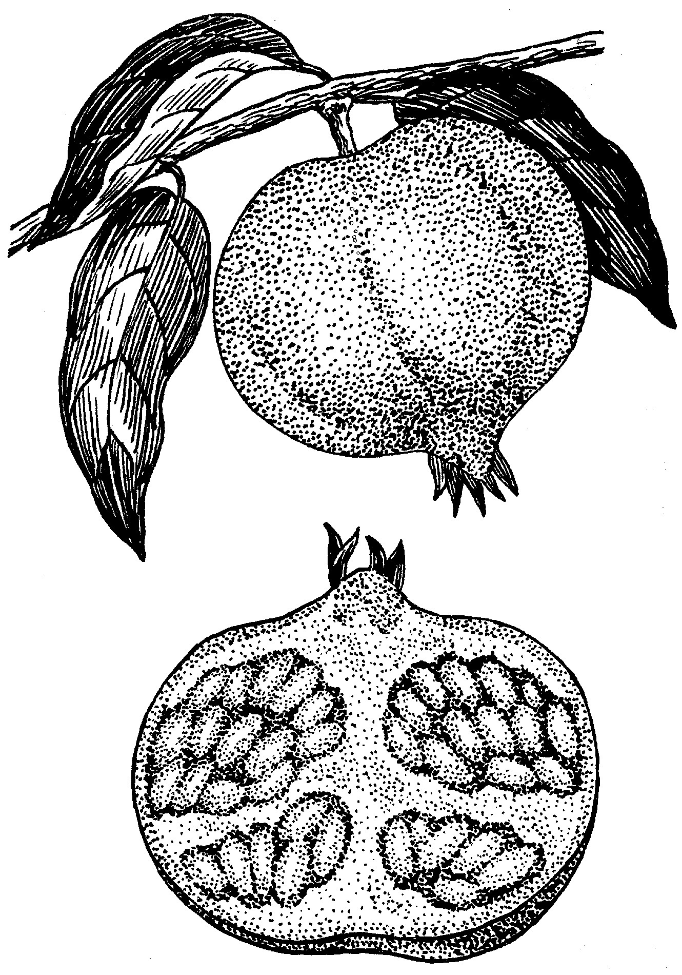 Pomegranate Line Drawing Pomegranate_2_(psf).png