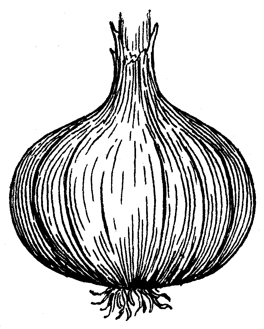 Sliced Onions Drawing Onion_(psf).png 30-nov-2010