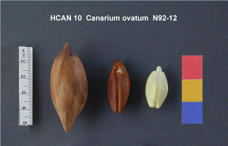 the feasibility of pili nut canarium Canarium ovatum, commonly known as pili ( pee-lee), is a species of tropical tree belonging to the genus canarium it is one of approximately 600 species in the family burseraceae pili are native to maritime southeast asia, papua new guinea, and northern australia they are commercially.