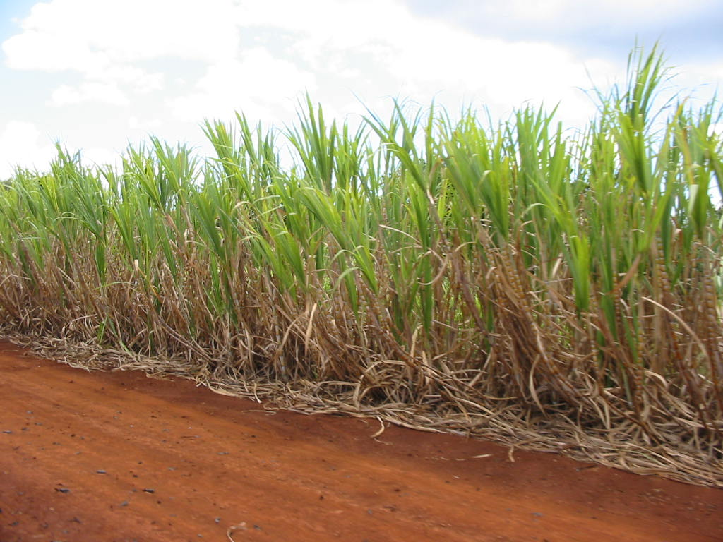 File:Sugar Cane Plantation.jpg - The Work of God's Children