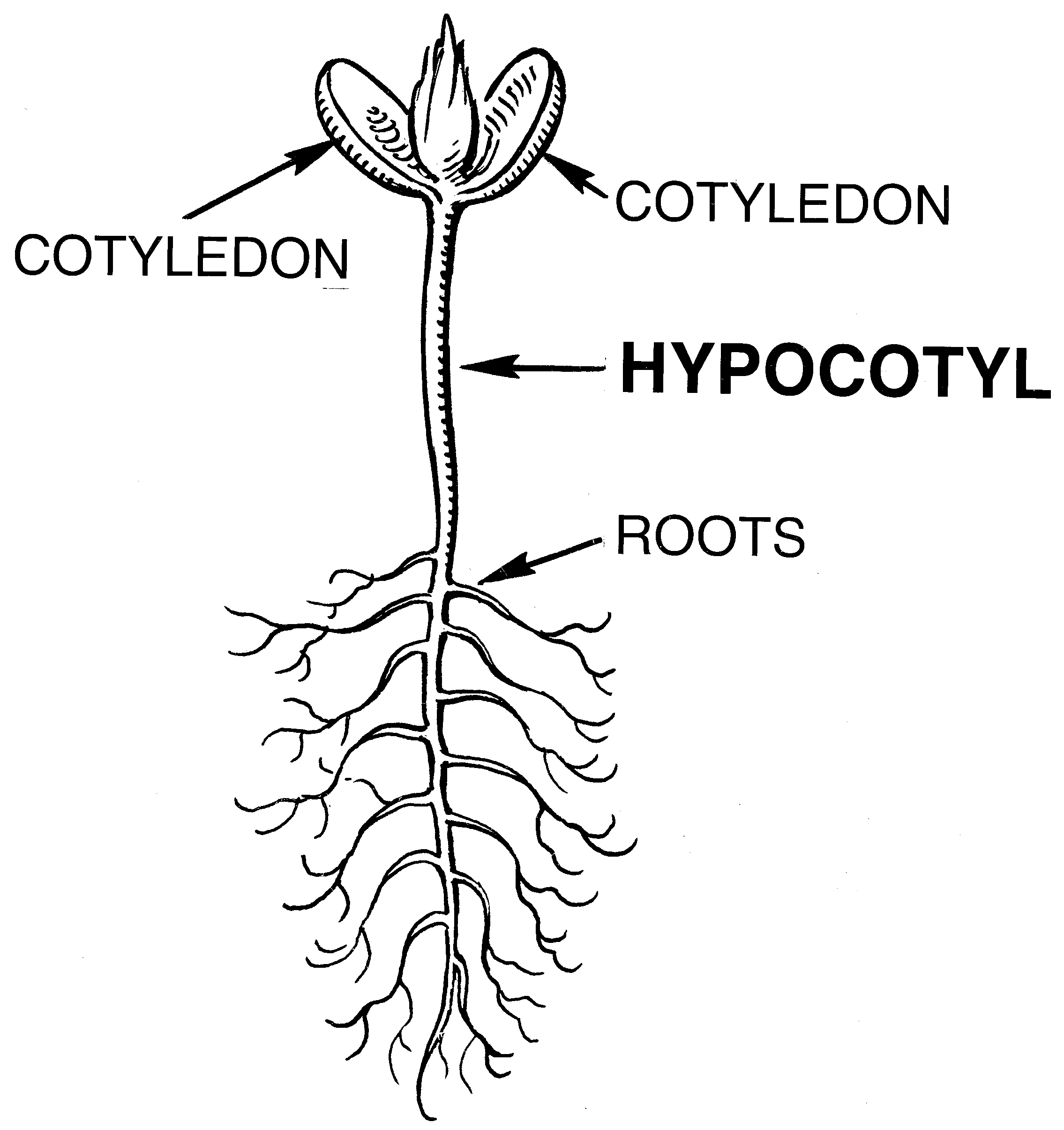 Hypocotyl_(PSF).png
