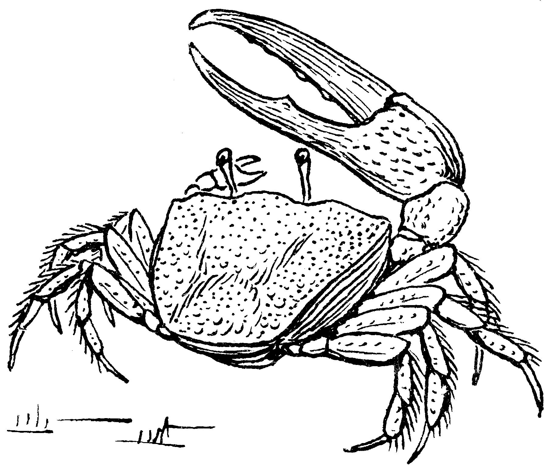 Fiddler Crab Drawing Fiddler_crab_2_(psf