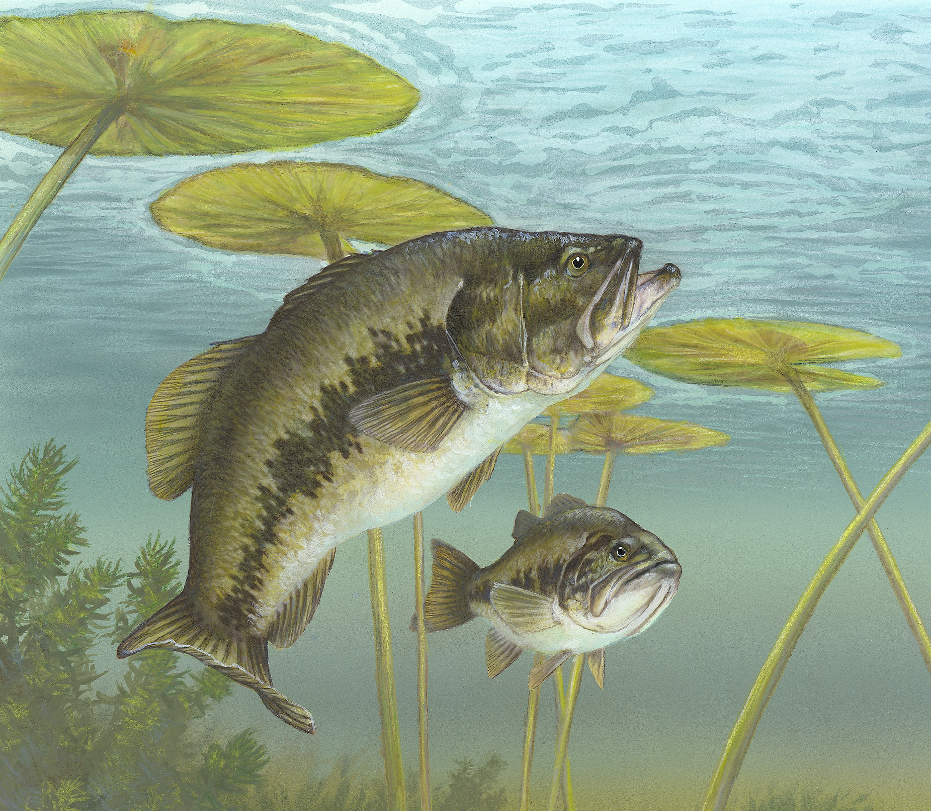 File:Largemouth...