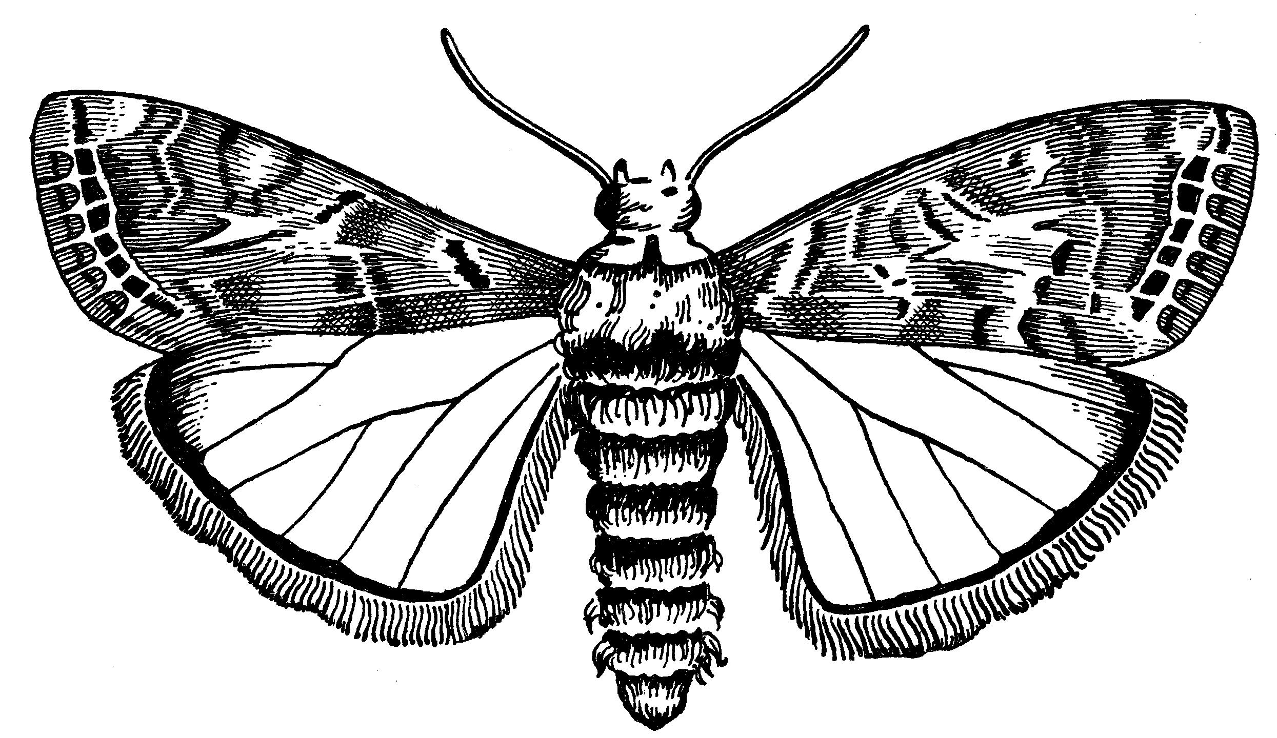 Moth drawing - photo#44