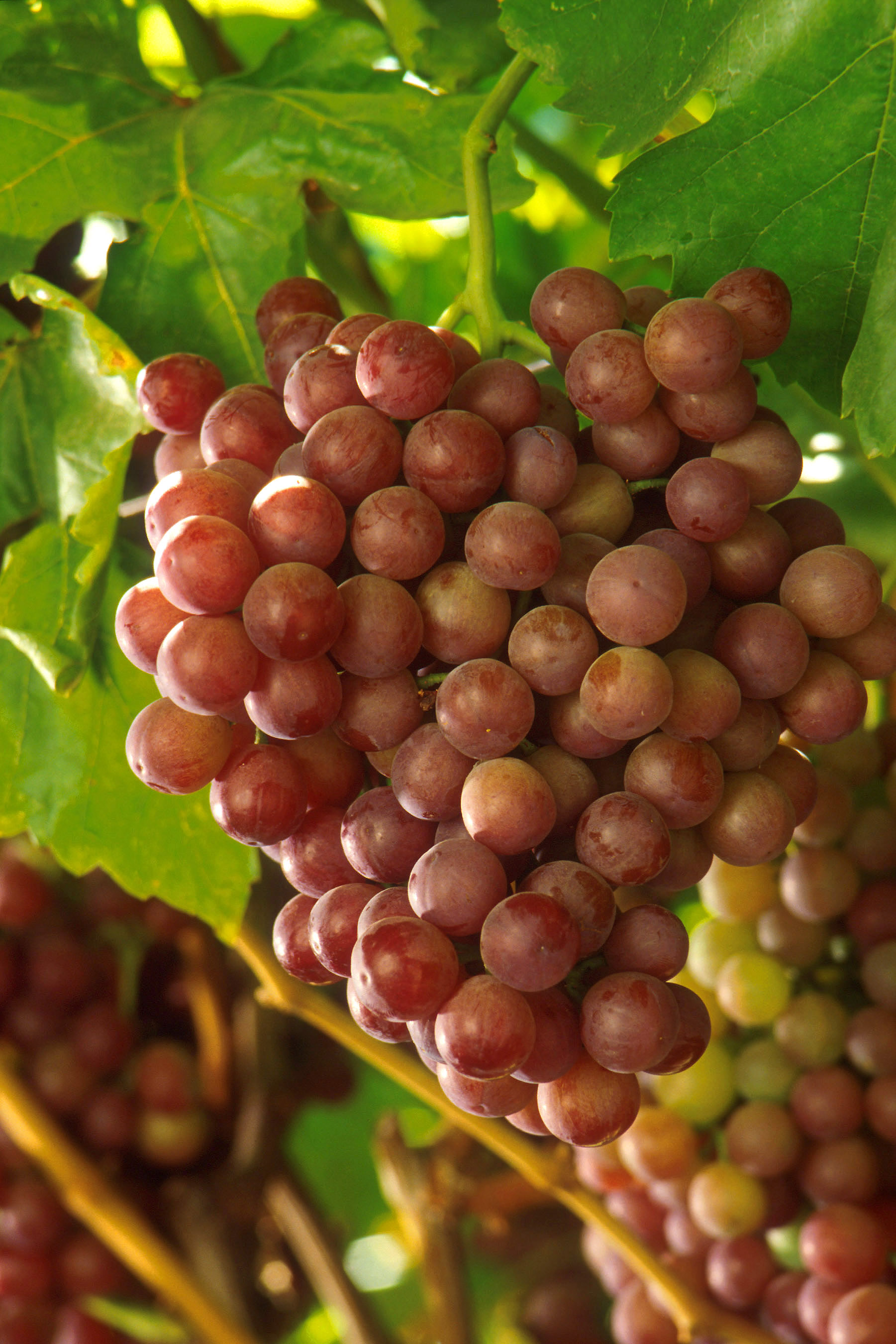 File:Grapes 009.jpg - The Work of God\'s Children
