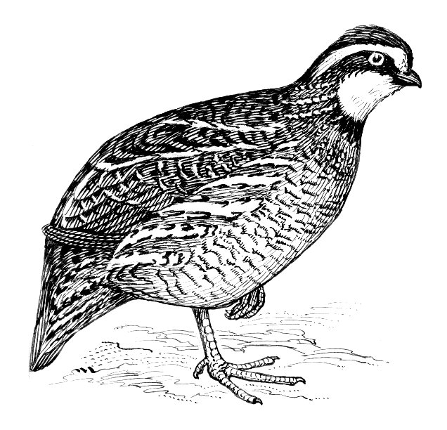 Line Art Quail : File bobwhite quail g the work of god s children