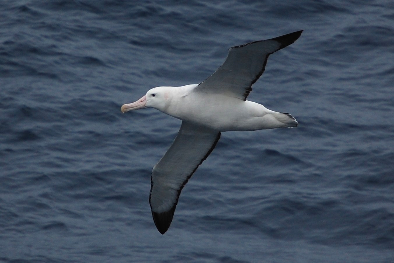 File:Wandering albatross 0676.jpg - The Work of God's Children