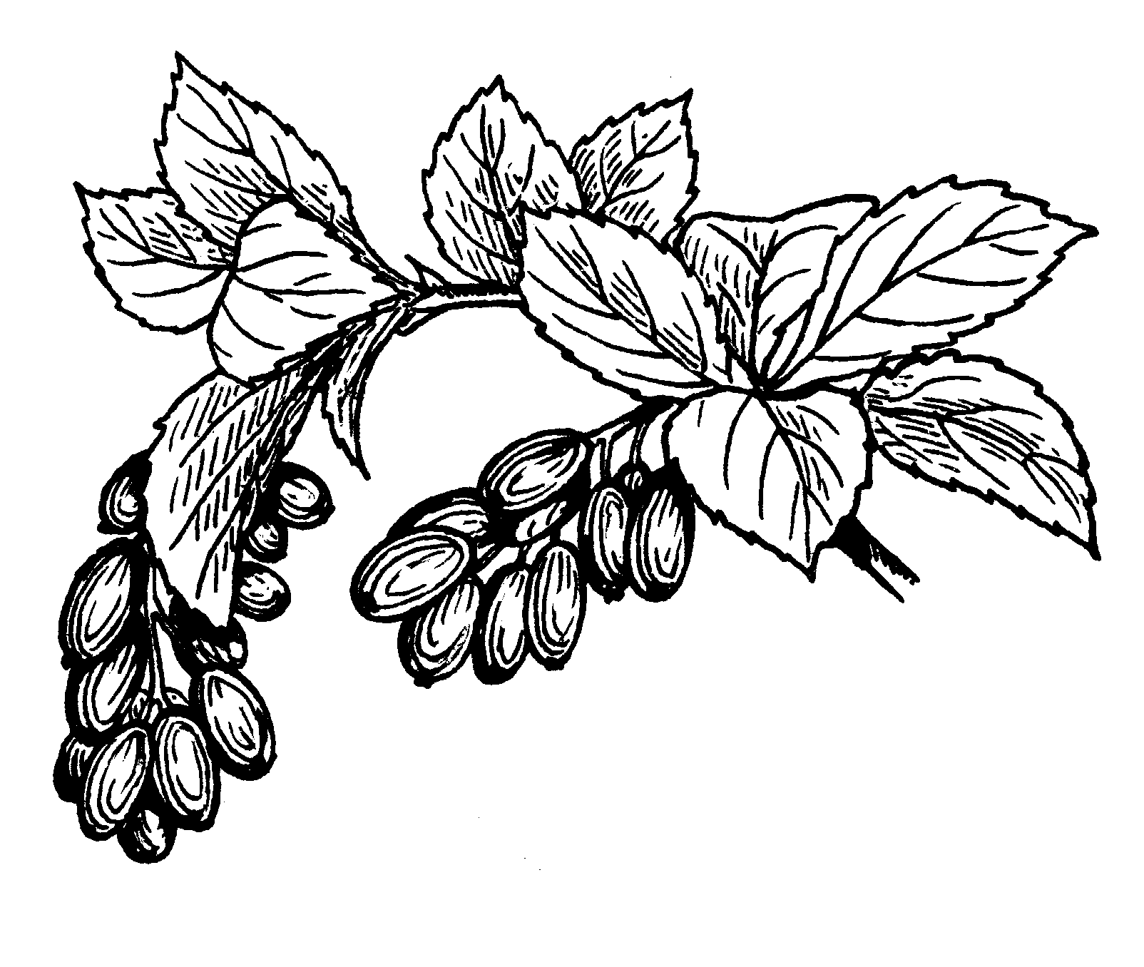 Fruit Pictures Drawing File:barberry Fruit And Png