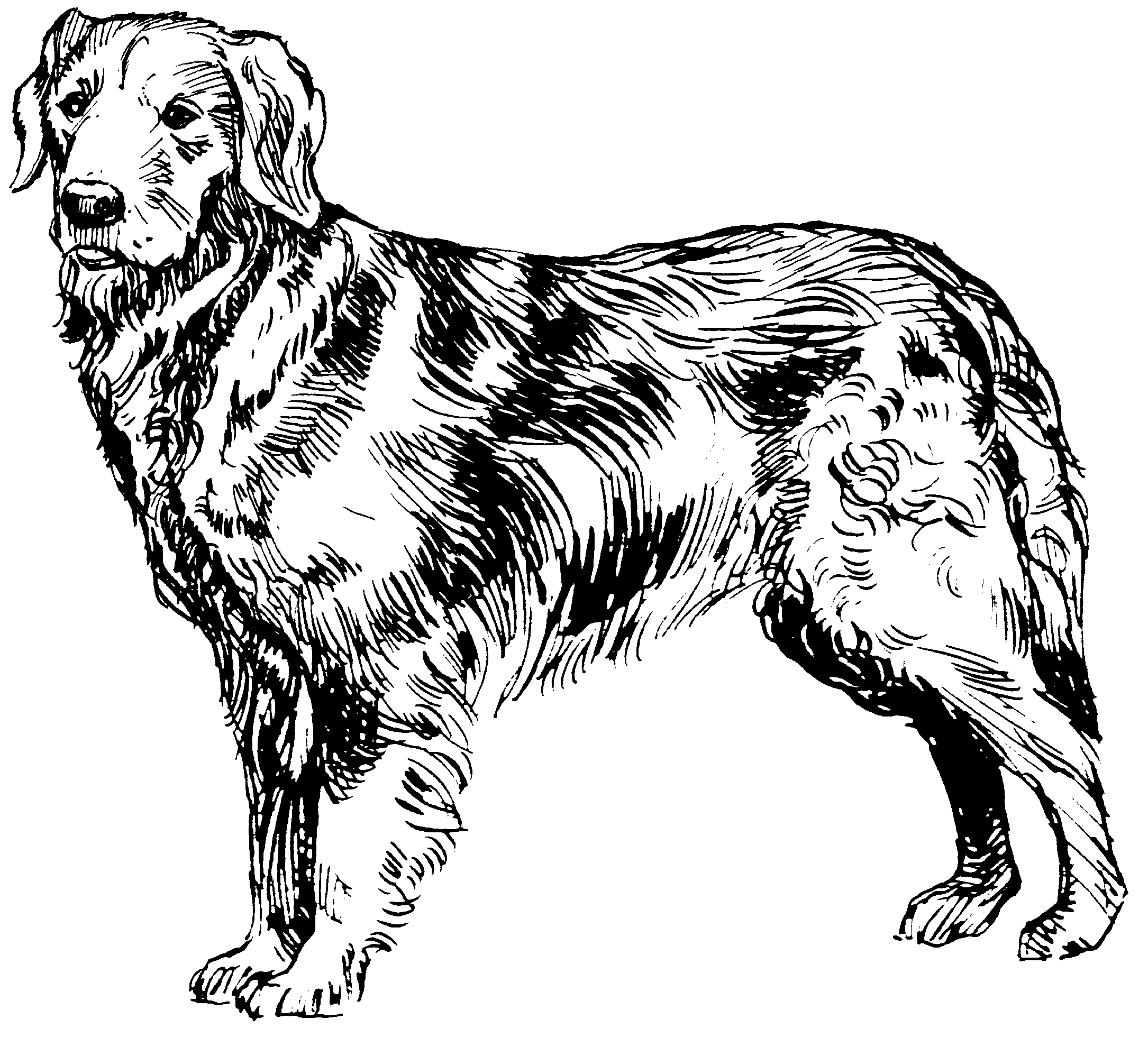 Line Drawing Golden Retriever : How to draw a golden retriever sitting pixshark