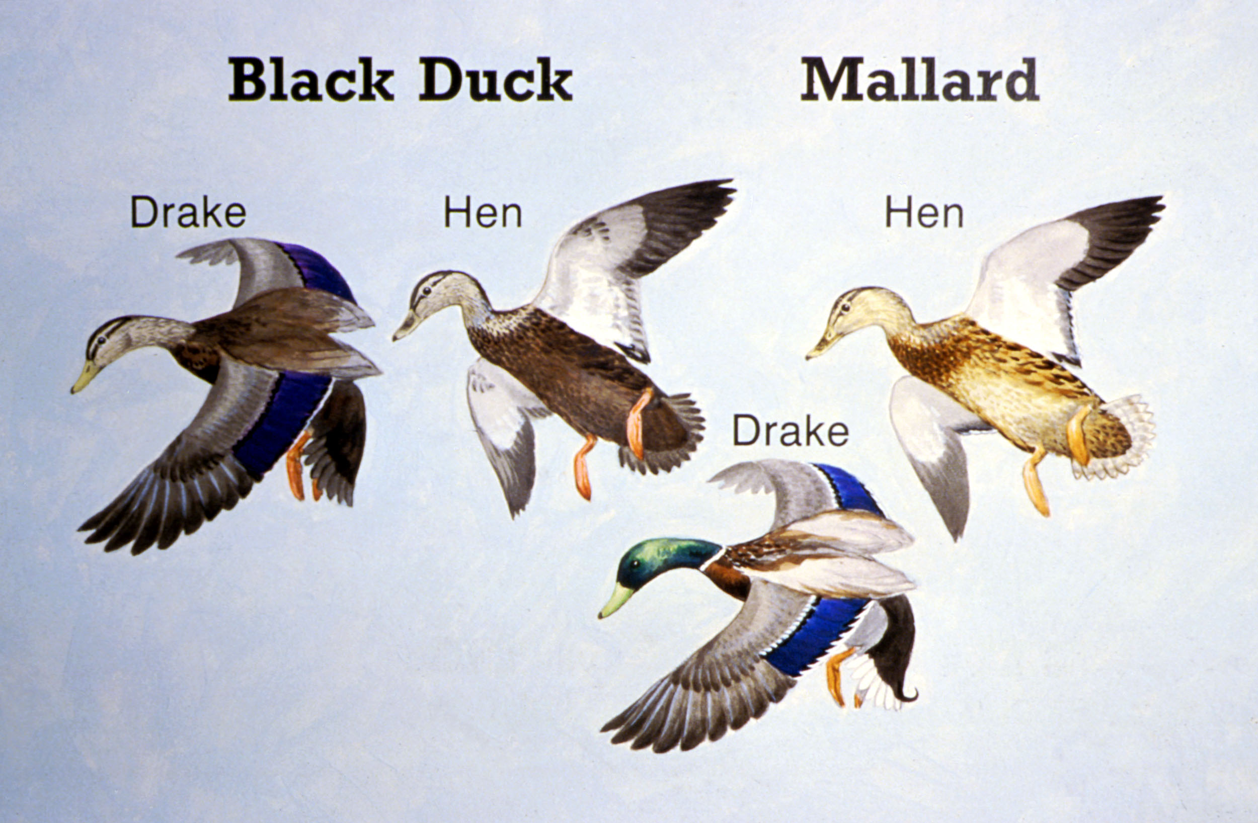 Black Duck Vs Mallard