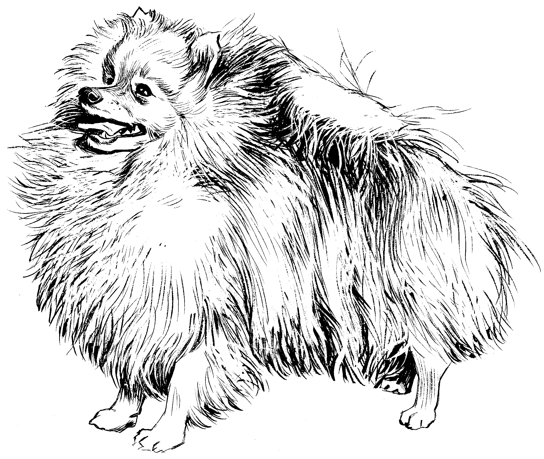 Pomeranian Coloring Sheets Coloring Pages