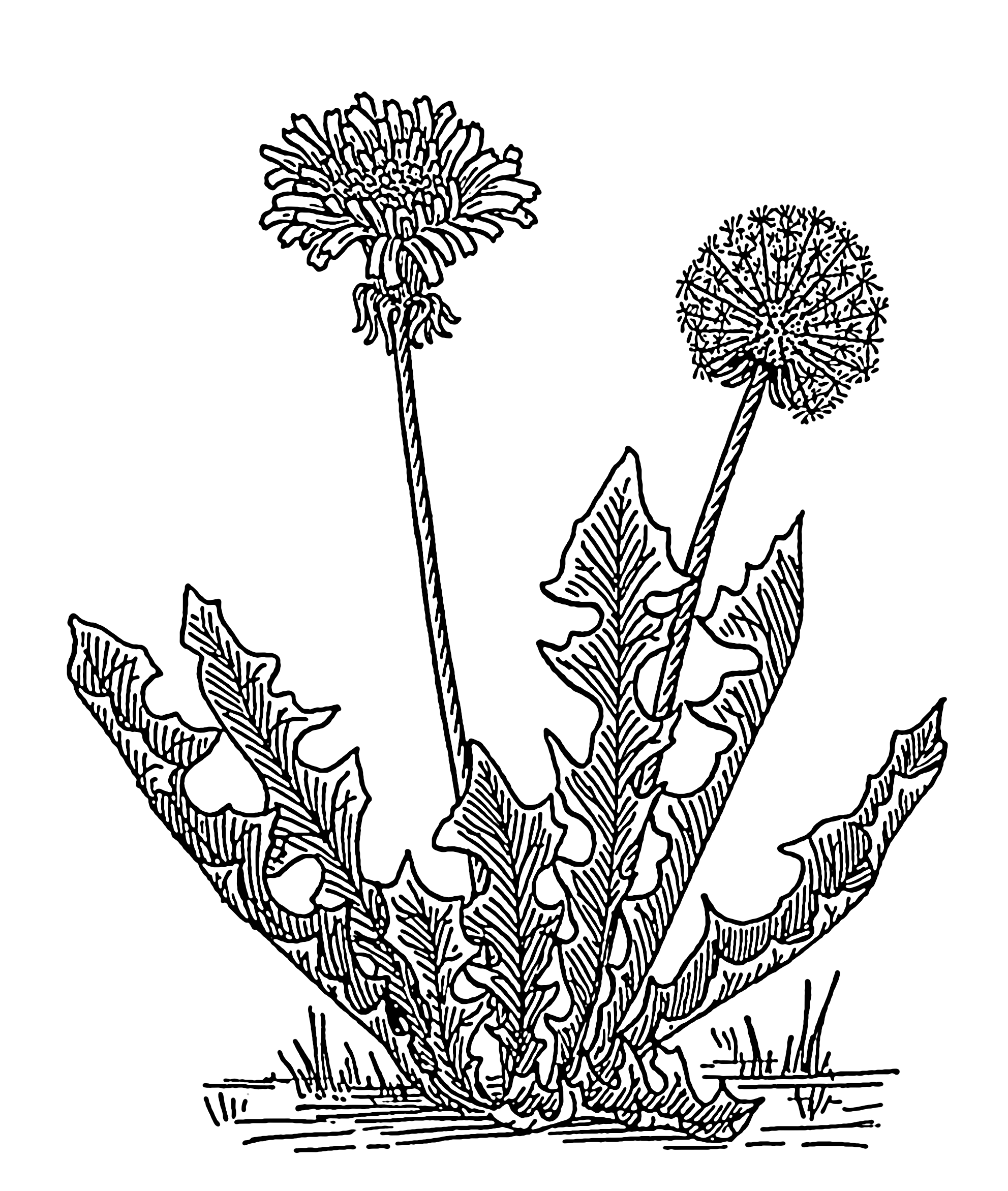 Dandelion Flower Line Drawing : File dandelion the work of god s children