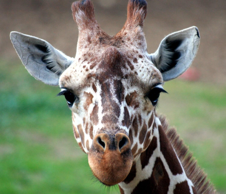 file giraffe head 002 jpg