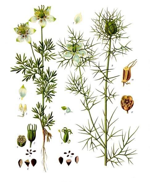 file nigella sativa fennel flower nigella damascena love in a mist the work of. Black Bedroom Furniture Sets. Home Design Ideas