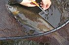 Clipping a Fin from a Coho Salmon for Analysis.jpg