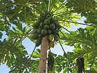 Carica papaya Tree in Caceres Brazil 001.jpg