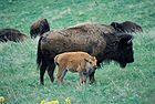 Bison Cow and Calf.jpg