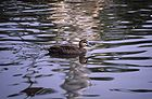 Pacific black duck 0652.jpg