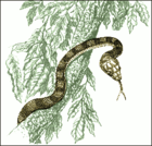 Brown Tree Snake.png