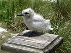A white tern chick, hardly indicative of the beautiful bird that it would become 1578.jpg