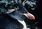 Rockhopper Penguin close up 0090.jpg
