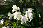 Easter Lily 003.jpg