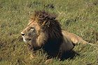 African lion-Male.jpg
