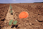 Lightweight, biodegradable ATB (Aerodynamic Transport Body) can be loaded with insect predators or parasites. This device will quickly distribute beneficial insects throughout this field of young cotton 001.jpg