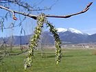 Buds on a Tree and Mountains 001.jpg