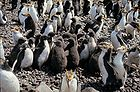 Royal Penguins & chicks 0088.jpg