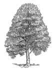 Beech tree 001.png