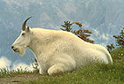 Mountain Goat in Glacier National Park 001.jpg