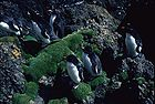 Rockhopper Penguins 0089.jpg