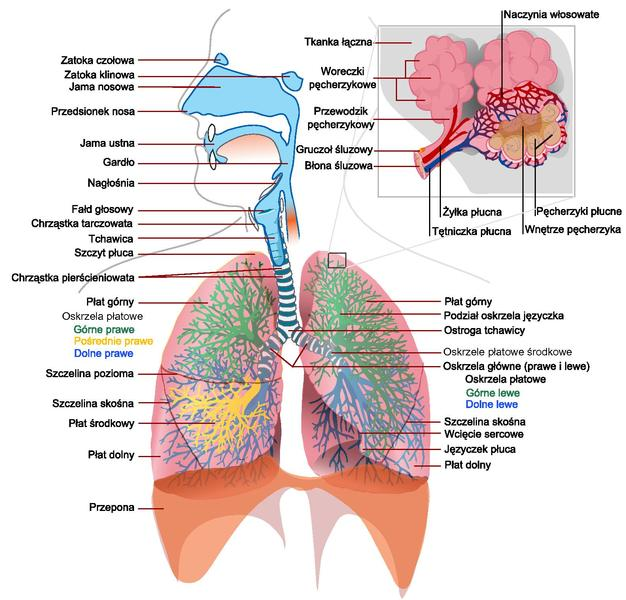 File:Respiratory system complete Polski Polish.pdf - The Work of ...