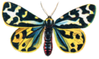 Parasemia Plantaginis Moth 001.png