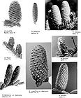 Abies - Fir Tree Pine Cones 002.jpg