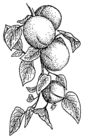 Apricot 001.png