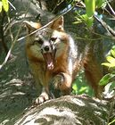 Gray Fox Yawning Apr04 N Fla.jpg