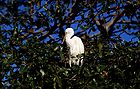 Cattle egret 0648.jpg